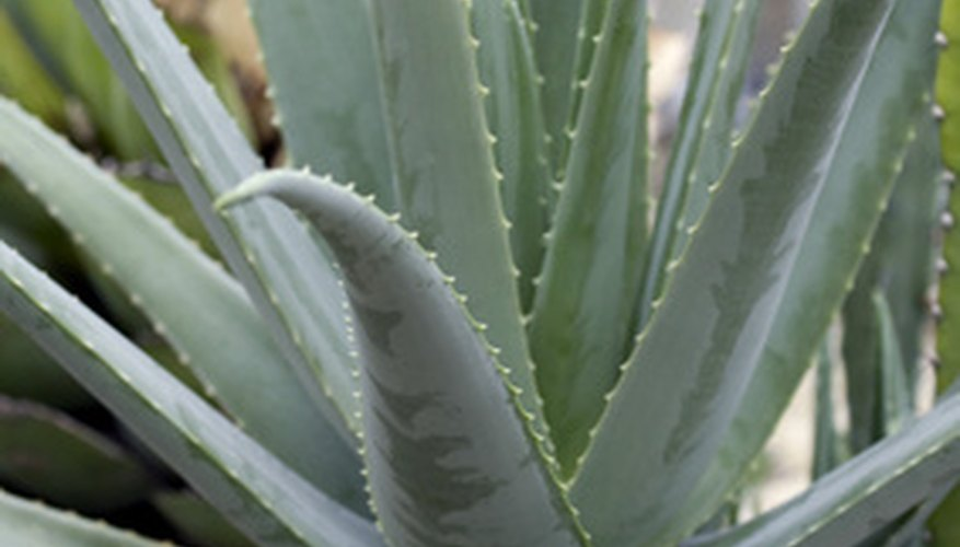 The aloe plant is commonly used to treat sunburn.