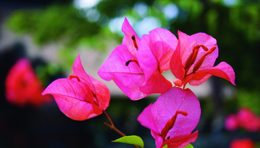 Bringing a bougainvillea in for the winter will keep it safe from cold.