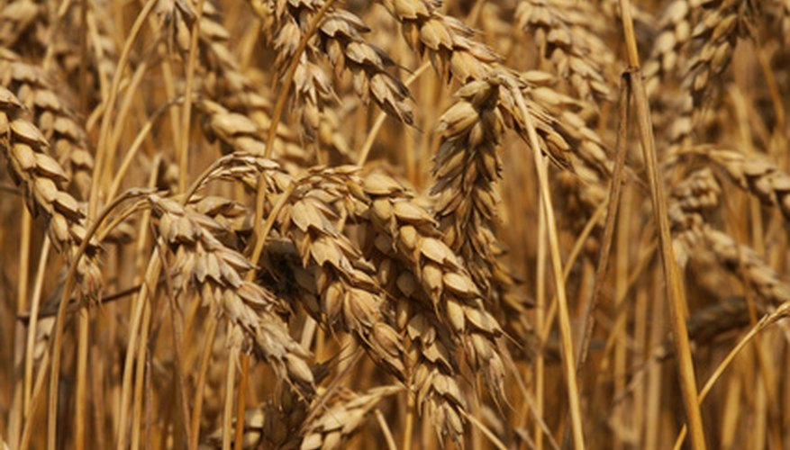 Grow your own wheat in your garden plot.