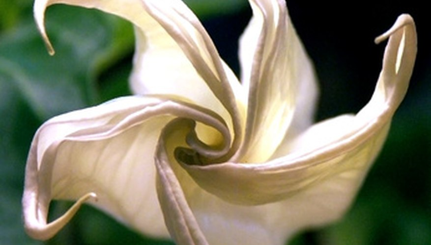 A spiral-shaped flower from the Datura genus of the nightshade family.
