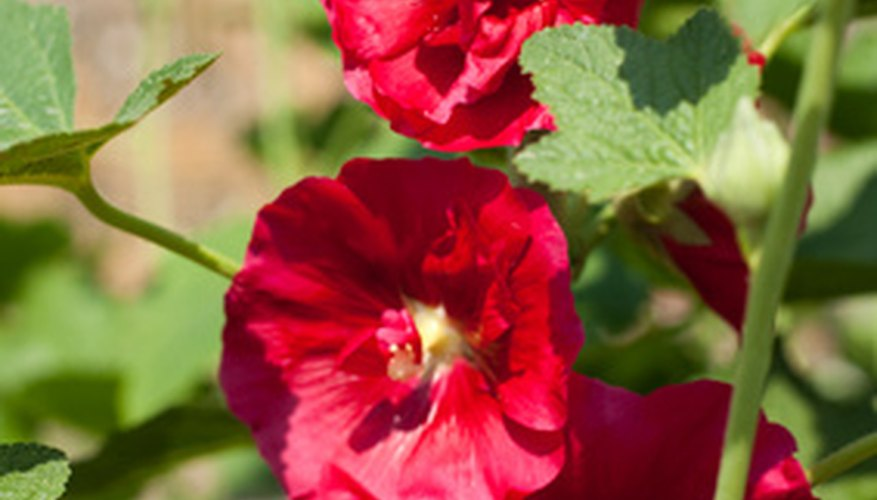 Tall spikes of  old-fashioned hollyhocks add color to the flower bed.