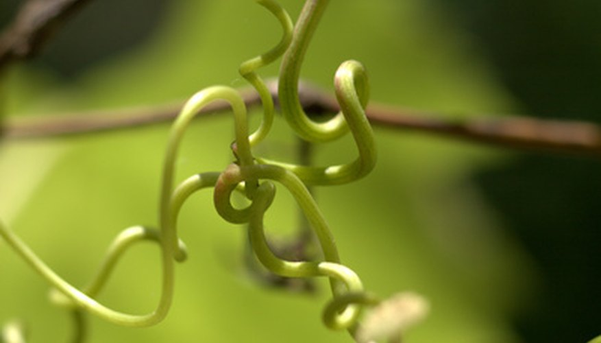 Twining vines naturally seek support.