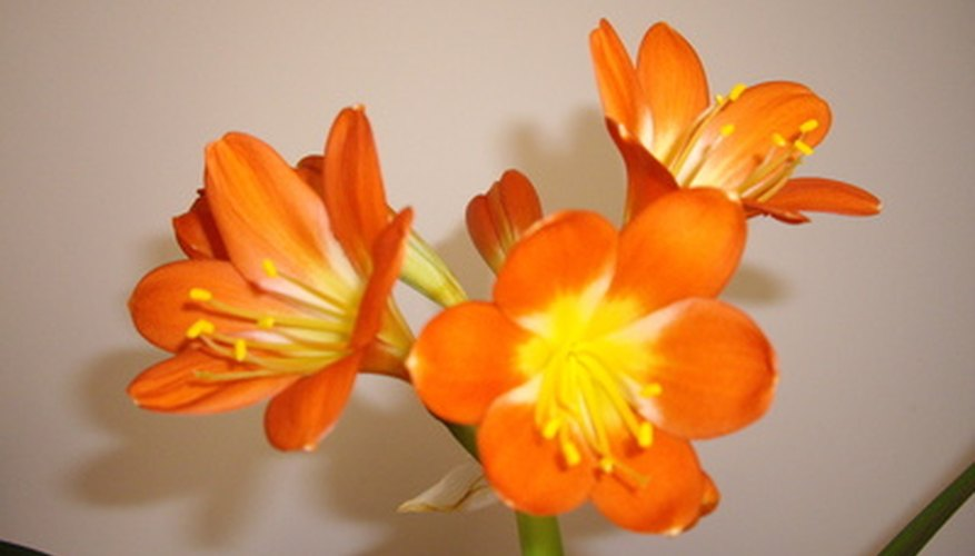 Clivia flowers are trumpet-shaped and orange to gold in color.