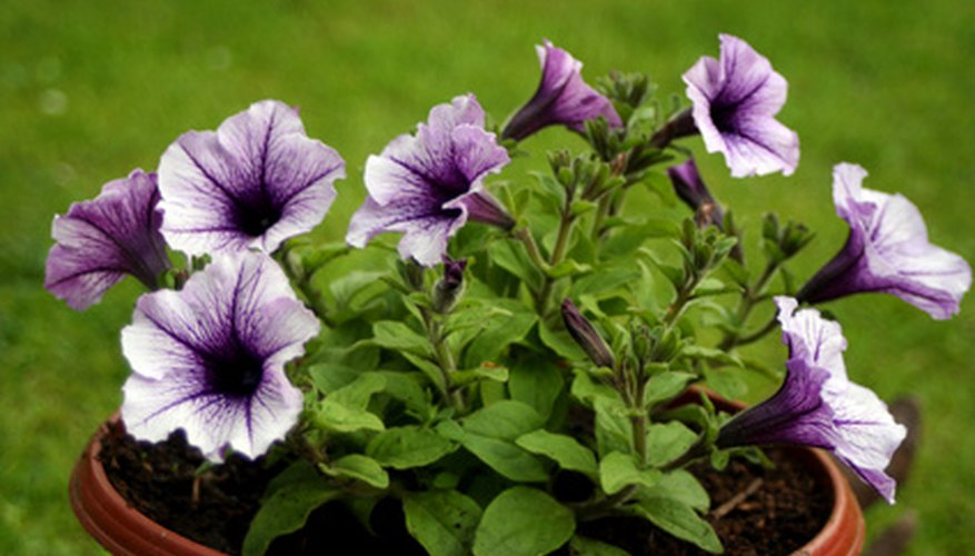 Purple petunias in an outdoor pot.