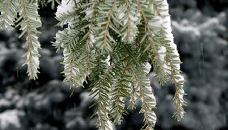Hemlock in winter.