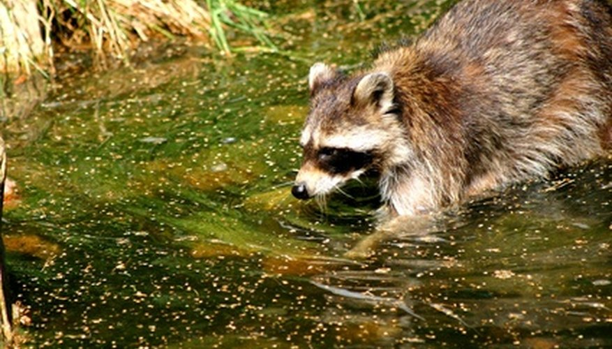 Raccoons eat eggs and hatchlings.