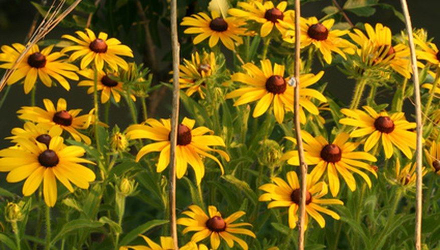 Black-eyed Susans form thick clusters of bright yellow flowers.