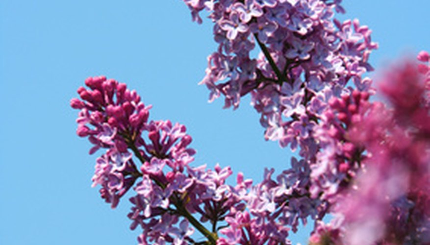 Lilac trees are fairly disease-resistant.