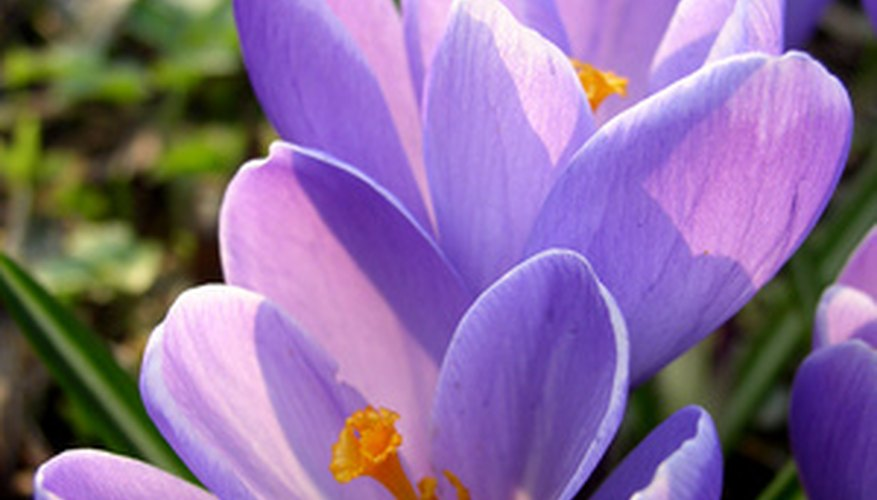 Autumn crocus looks much like the spring variety but it is larger.