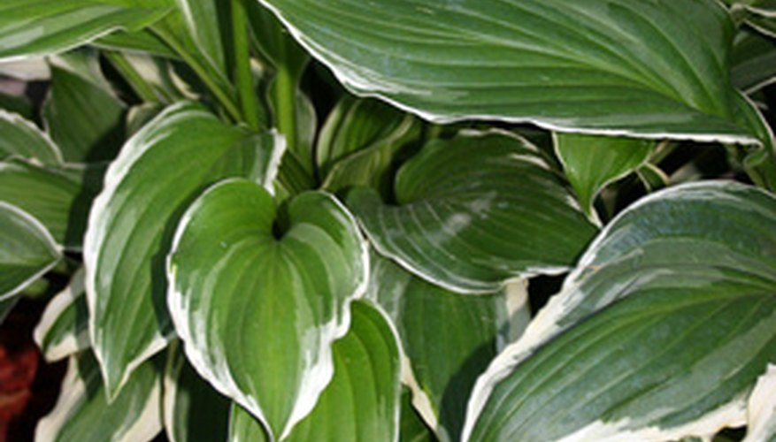 Hostas are full of beautiful green foliage.