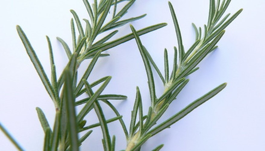 Harvest rosemary stems in early morning when the leaves are full of oils.