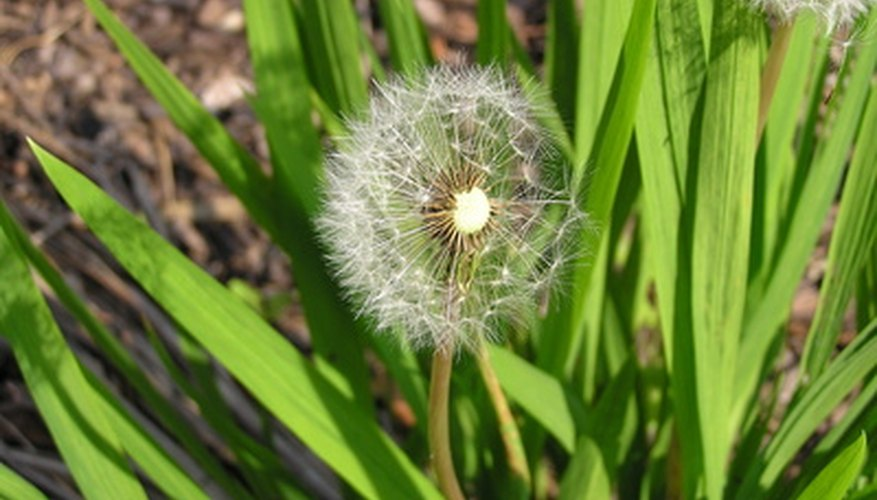 Dandelion is a common broadleaf weed.