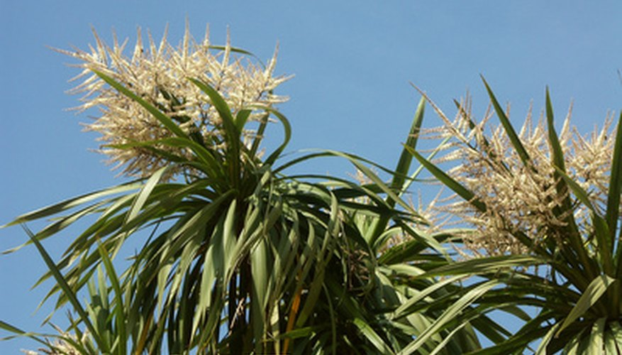 Yucca plants are distinctive looking in the garden.