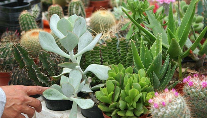 Los cactus son excelentes plantas miniatura.