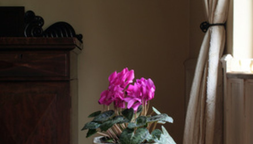 Bright pink cyclamen in an indoor setting.