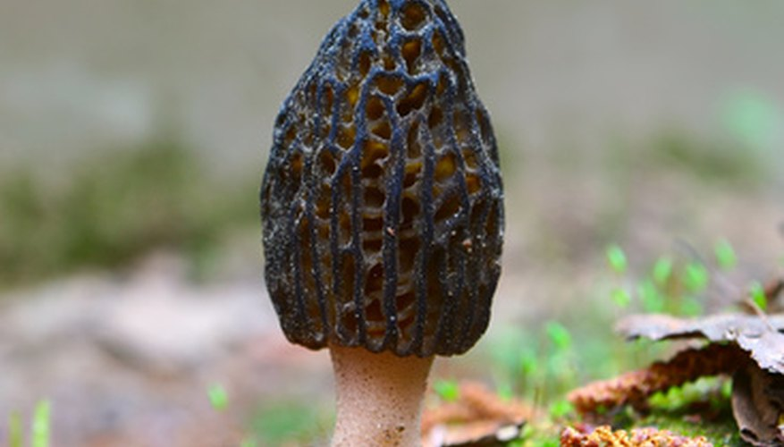 Morel mushrooms, sometimes known as sponge mushrooms, grow in wooded areas in Arkansas.