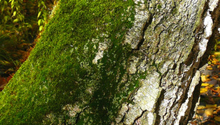Moss on a tree is a good sign that there is very little air pollution in your area.