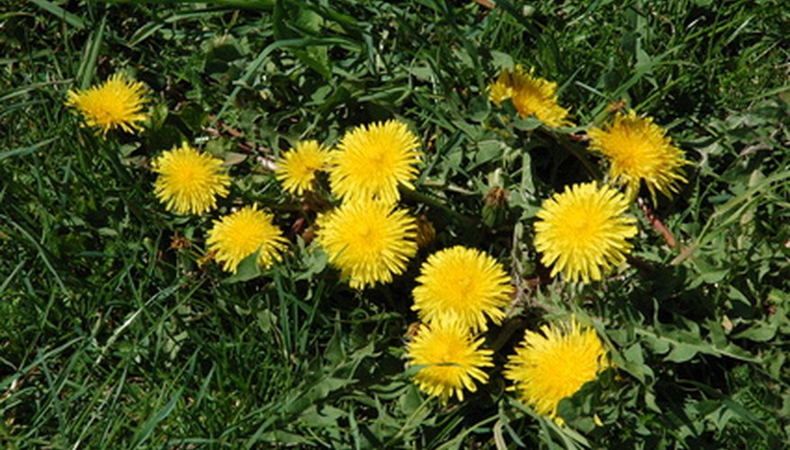 Spectracide Weed Stop will kill dandelions, weeds that have broad leaves.