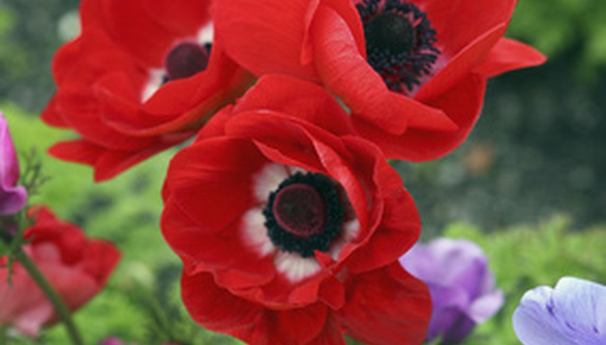 Poppies are popular landscape flowers.