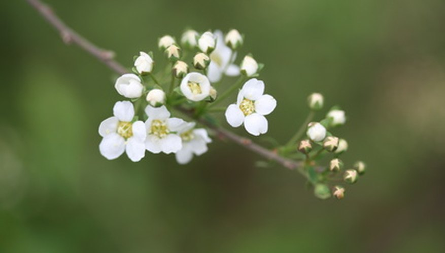 Bridal wreath spirea, S. vanhouttei, is a versatile choice for the Seattle garden.