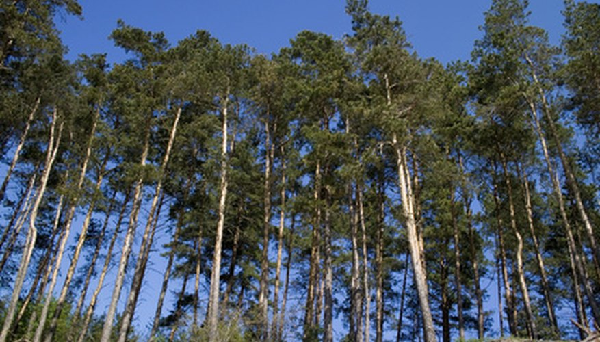 The environment of the pine tree depends on the species and the location.