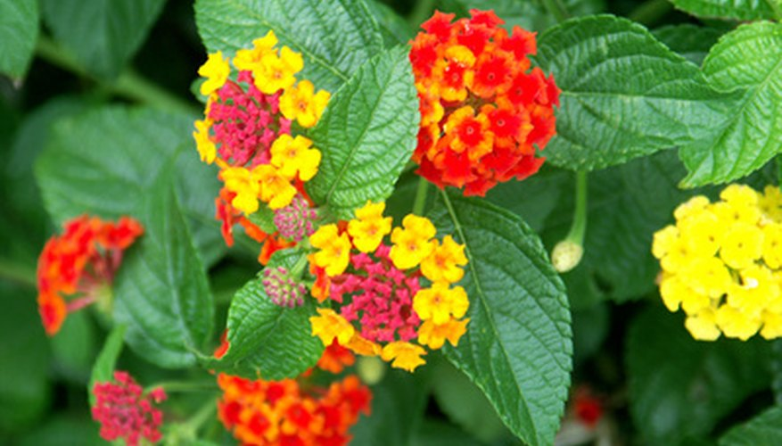 Lantana flowers are brightly colored.