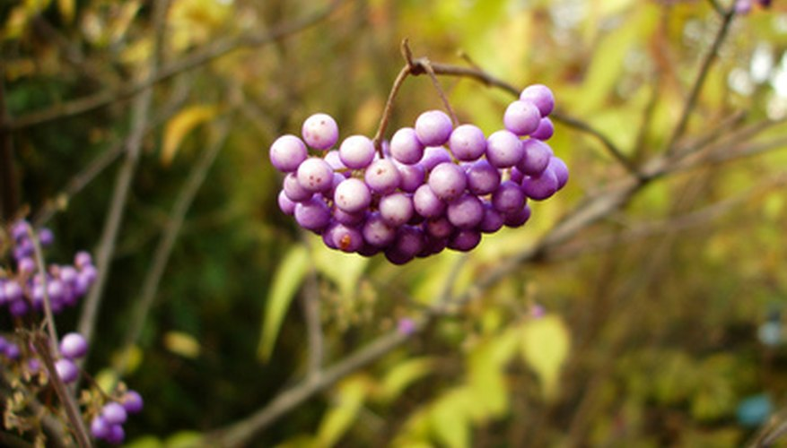 Beautyberry fruit cluster