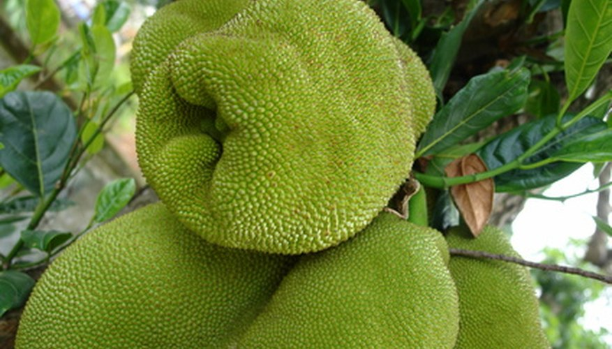 Jackfruit turns green when ripe.