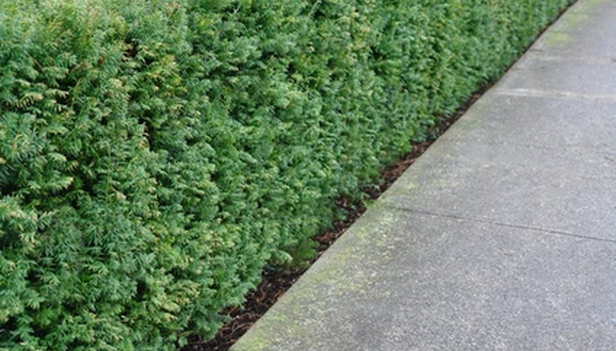A boxwood shrub is commonly used for making a topiary.
