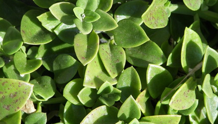 Succulent plants store water in their leaves.