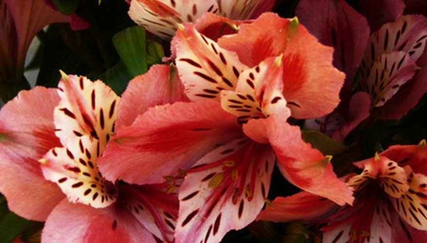 Alstroemeria tiara is also called the Peruvian Lily.