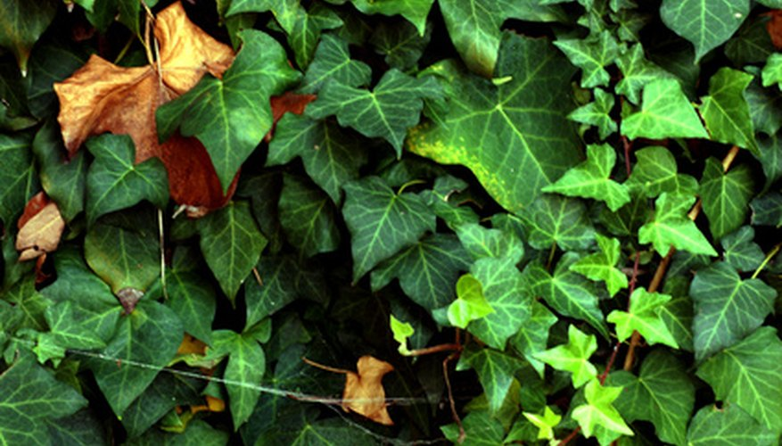 English ivy collects the falling leaves from trees.