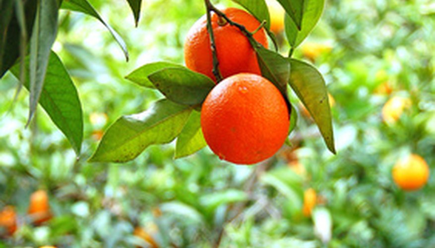 Orange trees require protection from frost and freezes.