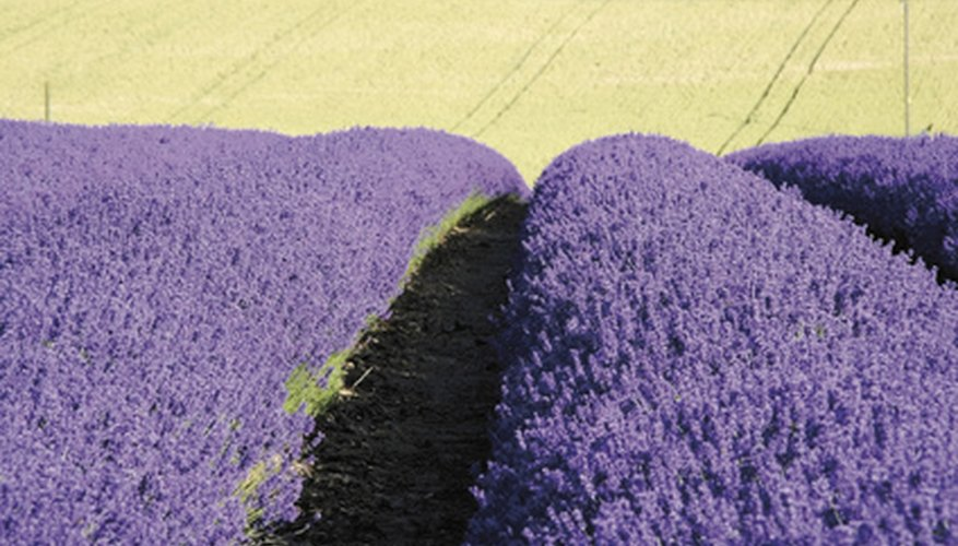 Lavender grows in a dense field.