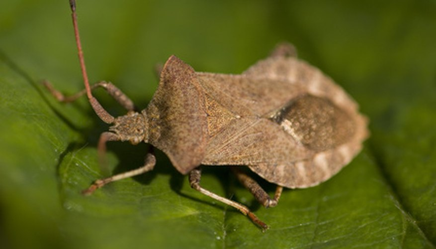 Stinkbugs are hard to control, as they do not live on the persimmon tree.