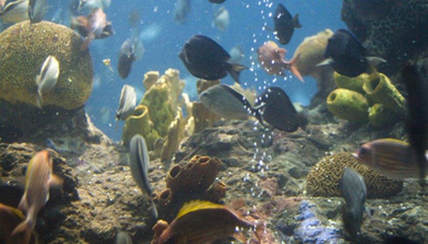 Tienen una amplia variedad de colores y formas, y son muy robustos a la hora de adaptarse a un acuario.