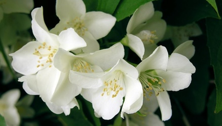 Jasmine plants are susceptible to little green worm pests called aphids.