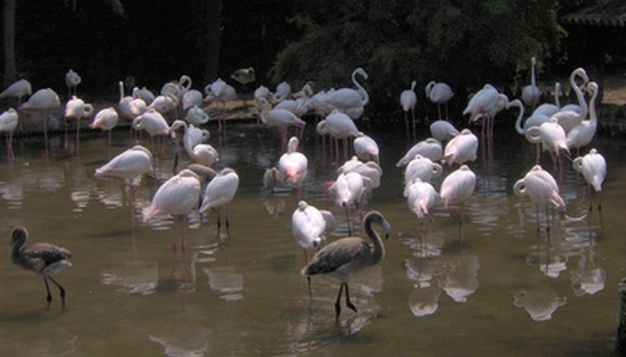 Flamingos prefer shallow water.