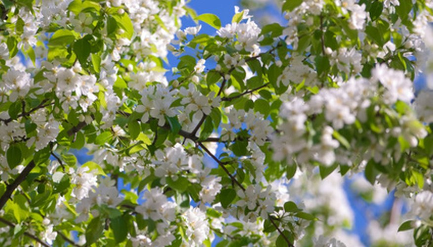 Apple trees can be affected by many pests.