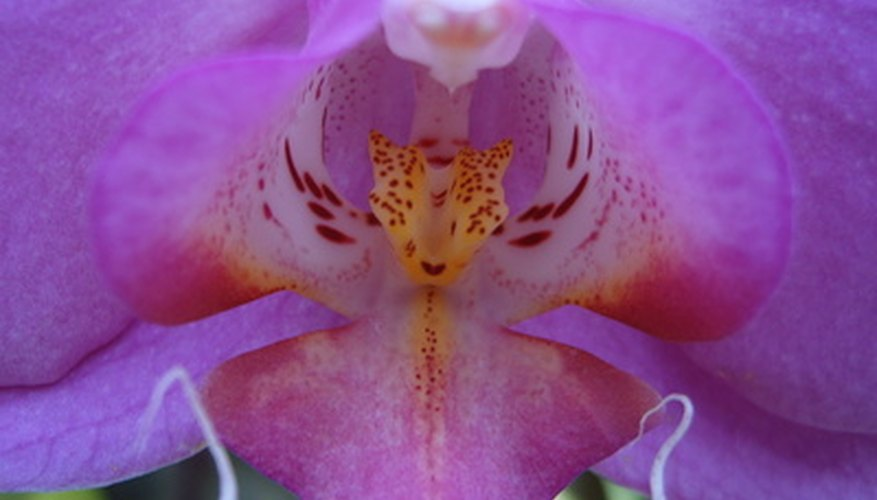 Close-up of a lilac orchid bloom.