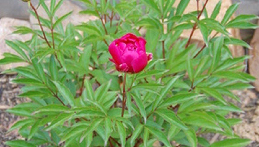 A clump of stems and flowers on a herbaceous peony plant.
