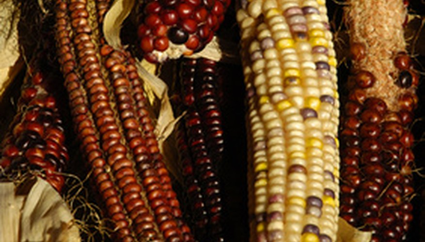 Grow colored corn for decorative use.