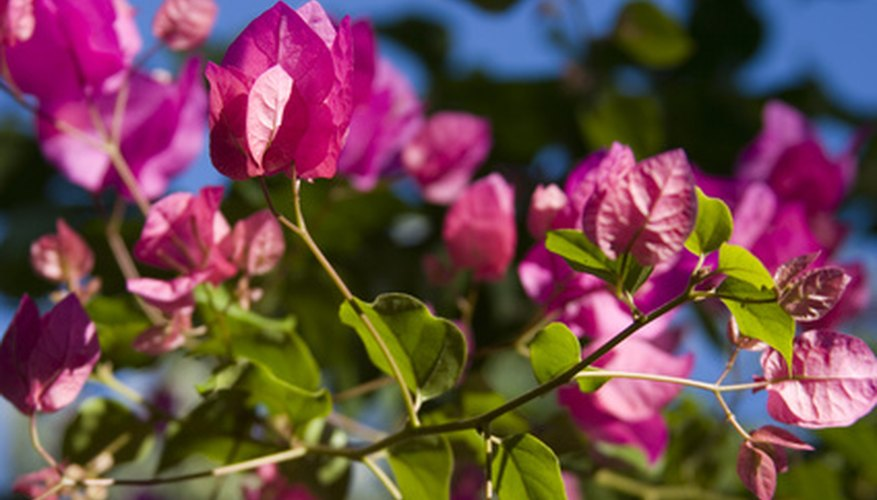 Bougainvillea's blooms may hide its toxic thorns.