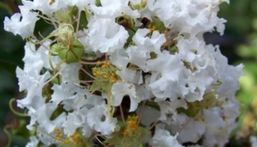The Acoma crape myrtle has pendent branches that bear white summertime flowers.