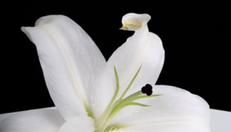 Casa blanca lilies are a variety of oriental lily.