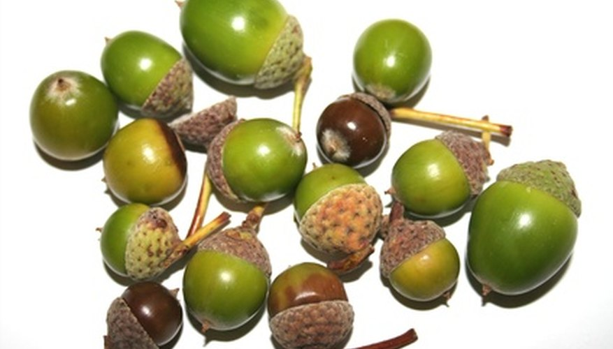 Acorns at the proper maturity level