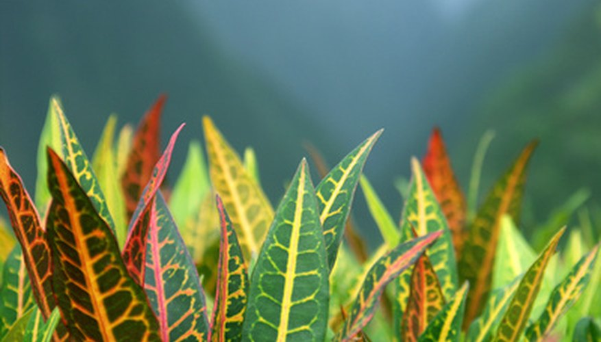 Crotons have leaf colors ranging from green mixed with yellow to red or purple.