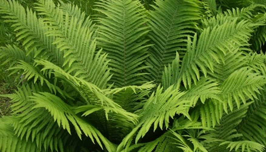 Frilly fern leaves complement the large, bold elephant ear leaves.