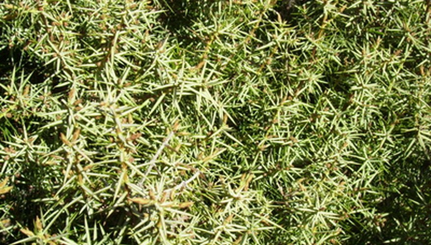 Juniper trees are susceptible to infestations of mites.
