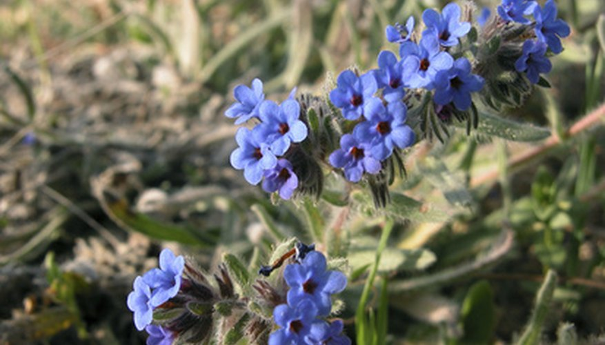 Speedwell's bluish-purple flowers.